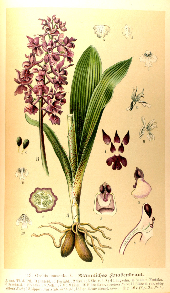 Orchis mascula (3)