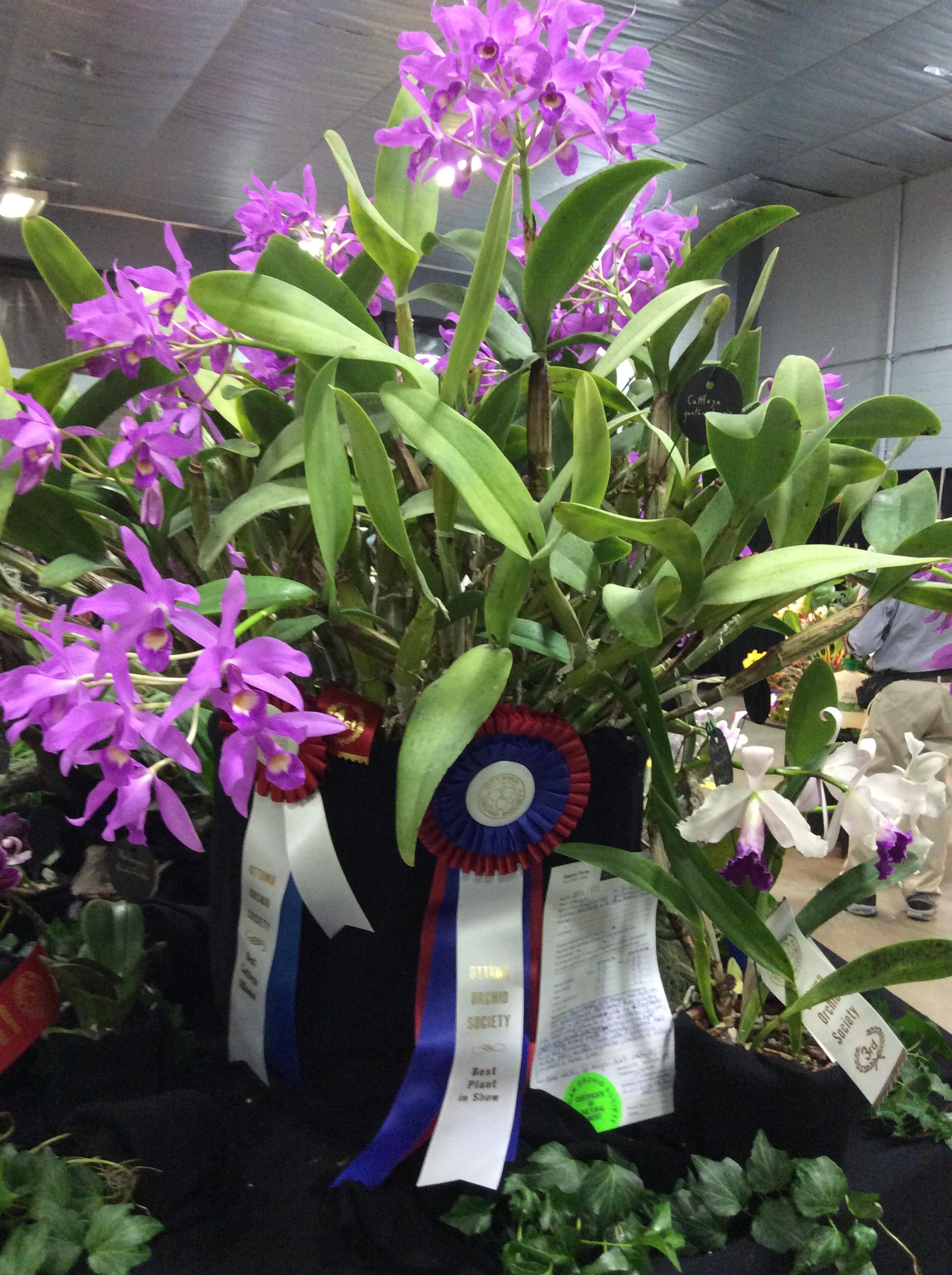 Cattleya Guatamalensis - Ottawa Orchid Show