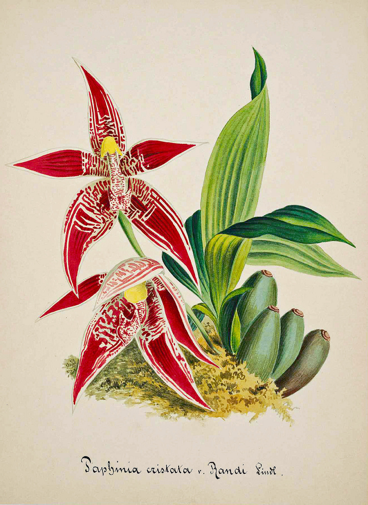 paphinia-orchid